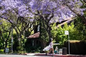 jacaranda trees invasion of the purple