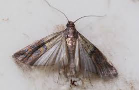 Small Moths In Bedroom Ncleaningtipscom Cleaning Tips For You