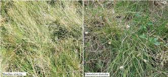 Typical grassland species: Nardus stricta and Oreochloa disticha ...
