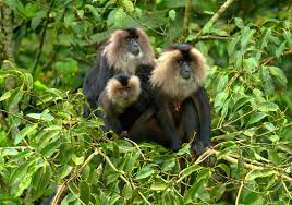 lion tailed macaque habitat. file:lion-tailed macaque by n. a. naseer.jpg lion tailed habitat c