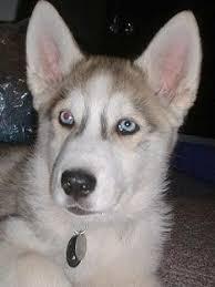 white german shepherd husky mix puppy. Plain Husky Grey German Shepherd Husky Mix And White Puppy