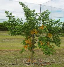 Need A Lemon Tree Or Raspberry Bush Get Yourself To Rice Fruit Tree Sale Houston