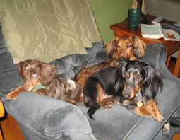 the dachshund is another breed