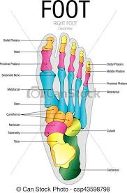 Foot Chart Chart Of Foot Dorsal View With Parts Name Vector Image