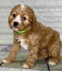 Puppies By Design Indiana Reviews Available Puppies For Sale Crockett Doodles