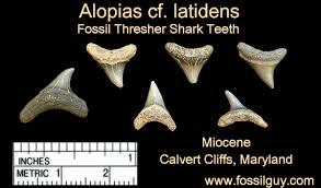 Fossil Shark Tooth Identification For Calvert Cliffs Of