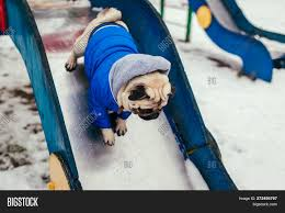 Pug Dog Winter Clothes Image & Photo ...