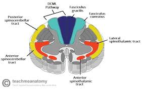 The Ascending Tracts Dcml Anterolateral Teachmeanatomy