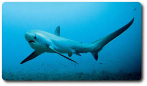 mackerel sharks the greatest hunters in the ocean mackerel sharks known also by their scientific lamniformes are an order of sharks that include the most impressive ocean hunters