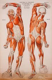 American Frohse Anatomical Charts Key Amazon Com Print Collection American Frohse Anatomical