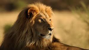 roaring lion wallpaper hd 1080p. Exellent Lion Preview Wallpaper Lion Face Mane Big Cat Predator With Roaring Lion Wallpaper Hd 1080p