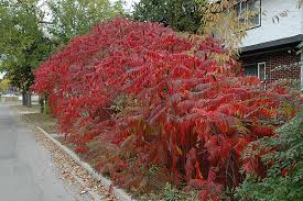 Image result for staghorn sumac
