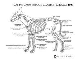 Growth Plate Closure Chart Lets Talk About Puppies Ready To Go Veterinary