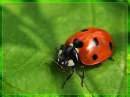 Image result for lady bug