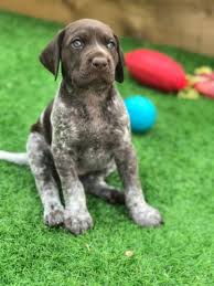 fantastic german shorthaired pointer puppies