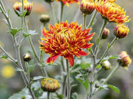 Chrysanthemums to grow in your garden - Gardens Illustrated