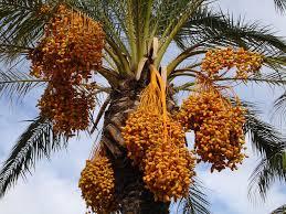 Cocos Nucifera Coconut PalmPalm Tree Orange Fruit