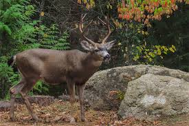 ONRC Black-Tailed Deer @ ONRC | Forks | Washington | United States
