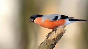 Salmonella grasserar bland småfåglarna - Jakt & Jägare