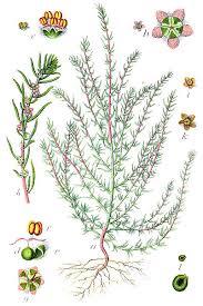 File:Kochia arenaria Sturm31.jpg - Wikimedia Commons
