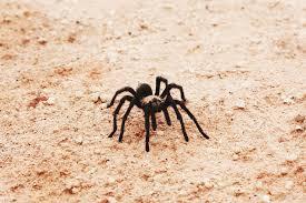 Utahs Dangerous Spiders