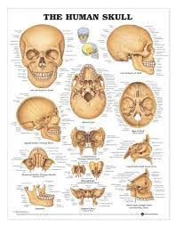 The Human Skull Laminated Anatomical Chart