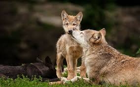wolf puppies wallpaper. Wonderful Wallpaper Quellbild Anzeigen Inside Wolf Puppies Wallpaper