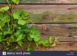 outdoor woods backgrounds. Grape Leaves On A Old Wood Background - Stock Image Outdoor Woods Backgrounds ,