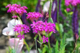 Silene armeria (Garden Catchfly)