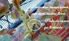 Consejos Y Cuidados De Los Rosales Rosas DotCuidados De Los Rosales
