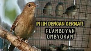 Beo jantan dan betina memang cukup sulit untuk dibedakan. Suara Burung Flamboyan Betina Download Suara Burung Flamboyan Jantan Untuk Masteran Mp3 Download Suara Pikat Burung Paling Ampuh Mp3 Untuk Jenis Burung Kecil Ribut Dan Besar Di Hutan Alam Liar