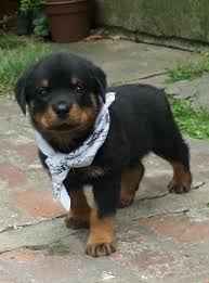 baby rottweiler.  Rottweiler Baby Rottweiler German Cute Puppy Pictures Puppies  Dogs Intended Rottweiler N