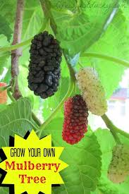 Persian U0026 Black Beauty Fruiting MulberriesMulberry Tree No Fruit