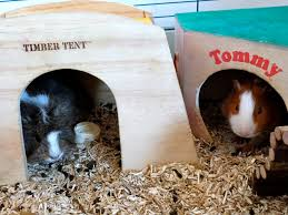 housing do guinea pigs need