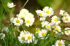Image result for Scottish Daisy