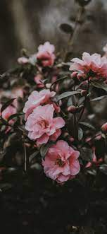 Pink camellia, flowers, spring ...