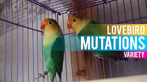 Lovebird Color Mutations Chart Lovebird Breeding Tips And Mutations Guide