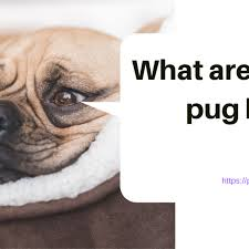 Pug Weight Chart In Kg Pug Weight Chart What An Ideal Weight For Pug Pug Merchandise