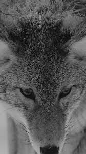 Snow Wolf Wallpaper - Iphone 6s ...