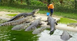 <b>Crocodile</b> farming in Africa – An Interesting Niche Business Many ...