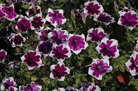 bachmans garden center. Cascadias Rim Violet Petunia (Petunia \u0026 Violet\u0026 At The Home And Garden Center Bachmans