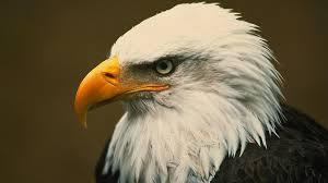 Bald Eagle Age Chart Bald Eagle
