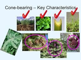 cone plant characteristics essay   homework for you cone plant characteristics essay img