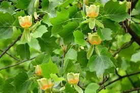 Identifying Yellow Poplar Tree In North America