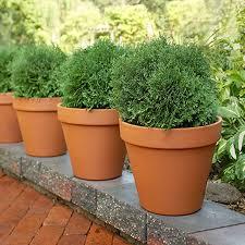 terracotta potted shrubs