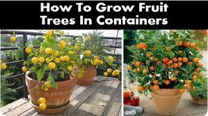 growing fruit trees in pots