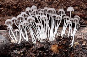 Image result for mushrooms in mulch
