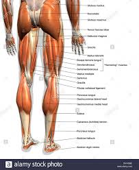 Labeled Anatomy Chart Of Male Leg Muscles On White