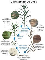 Gray Leaf Spot Of Corn Pioneer Seeds