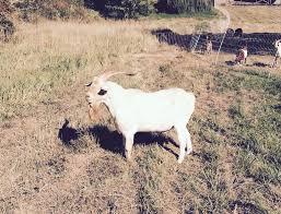 Image result for volt the goat